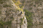 Peregrine (Falco peregrinus) perched on cliff. Sussex, UK.
