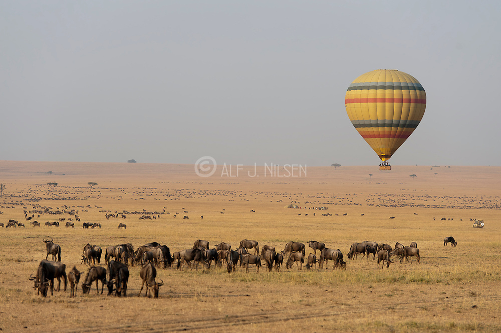 Hot-air balloon drifting over herds of grazing wildebeests in Maasai Mara, Kenya.