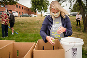01 SEPTEMBER 2020 - ADEL, IOWA: LYNN SUCIK packs pears Adel Tuesday. Volunteers from Eat Greater DSM gleaned pears at the Dallas County Human Services Campus. The pears will be distributed to Des Moines emergency pantries, community centers, and churches. Gleaning is the act of collecting leftover crops from farmers' fields after they have been commercially harvested or gathering crops from fields where it is not economically profitable to harvest. It is an ancient tradition first described in the Hebrew Bible. A spokesperson for Eat Greater DSM said need has skyrocketed this year. In a normal year, they distribute about 300,000 pounds of food. Since the start of the COVID-19 pandemic in March, they've distributed more than 500,000 pounds of food.        PHOTO BY JACK KURTZ