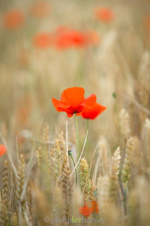Poppy field detail.