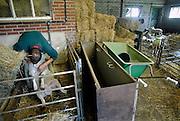Nederland, Blerick, 29-8-2007..Blauwtong. Sjraarvan Beek en  Philippe van der Grinten van bekijken zieke, door het virus getroffen schapen. Er bestaat nog geen vaccin,medicijn,geneesmiddel tegen het blauwtongvirus. De dieren kwijnen weg omdat ze niet meer eten,veel pijn hebben en inwendige infecties krijgen. Deze schapenboer geeft wel een injectie,spuit tegen de pijnen,pijnstiller, zodat de beesten blijven eten en misschien genezen. Met antibiotica proberen ze de infecties te  bestrijden. De besmette schapen gaan slijm uit de bek afscheiden,kwijlen, vanwege aantasting van de mondholte en tong...Foto: Flip Franssen/Hollandse Hoogte