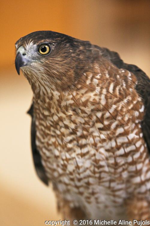 Copper's Hawk