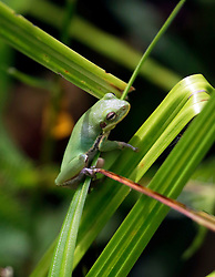 01 June 2015. Jean Lafitte National Historic Park, Louisiana.<br /> A green tree frog at the Barataria Preserve wetlands south or New Orleans. <br /> Photo©; Charlie Varley/varleypix.com