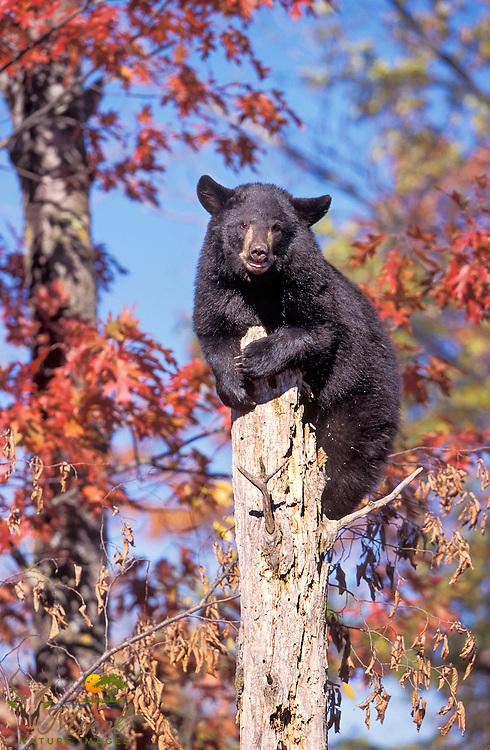 Black bear cub atop dead tree in fall