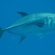 Horse-eye Jack inhabit open water in Tropical West Atlantic; picture taken Grand Cayman.