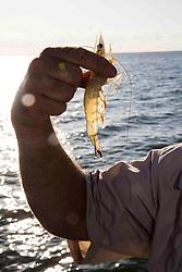 Man holding up Texas Gulf Coast White Shrimp (Litopenaeus aztecus) to sunlight.