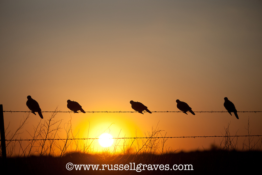 DOVE DECOYS SILHOUETTED ON A BARBED WIRE FENCE