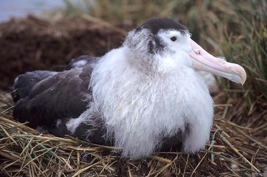 Wandering Albatross, (Diomedea exulans) Chick. South Georgia Island.