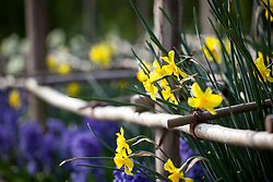 Narcissus 'Trevithian' and Hyacinthus orientalis 'Peter Stuyvesant' in the cutting garden