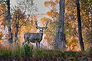 Large Mule Deer Buck at the Edge of a Forest of Cottonwoods at the last few minutes of evening light.