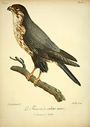 FAUCON A CULOTTE NOIRE - The black falcon (Falco subniger) Bird of Prey from the Book Histoire naturelle des oiseaux d'Afrique [Natural History of birds of Africa] by Le Vaillant, François, 1753-1824; Publish in Paris by Chez J.J. Fuchs, libraire .1799