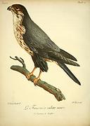 FAUCON A CULOTTE NOIRE - The black falcon (Falco subniger) Bird of Prey from the Book Histoire naturelle des oiseaux d'Afrique [Natural History of birds of Africa] by Le Vaillant, François, 1753-1824; Publish in Paris by Chez J.J. Fuchs, libraire .1799