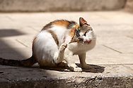 Stock photos of Street cat scratching itself - Dubrovnik - Croatia .<br /> <br /> Visit our CROATIA HISTORIC SITES PHOTO COLLECTIONS for more photos to download or buy as wall art prints https://funkystock.photoshelter.com/gallery-collection/Pictures-Images-of-Croatia-Photos-of-Croatian-Historic-Landmark-Sites/C0000cY_V8uDo_ls