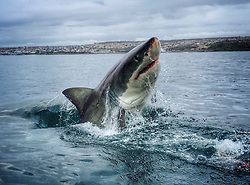 Go Pro Shark Photographer..Amanda Brewer is not only a shark conversationist but also a Go pro photograoher of these stunning animals, these images taken in Mossel Bay, South Africa with an eco tourism company called White Shark Africa and feature juvenile great white sharks. Amanda says '' Many of the sharks seen in the photos and videos are regulars around seal island and we know them well'',  The female shark seen breaching out of the water is named ''Blackgill'', and is easily the most impressive shark we've ever met. (Sharkservation) which takes and shares these photos to get people interested in learning about sharks in hopes that we can protect them. On average, 100,000,000 sharks are being killed every single year for profit. This is an unsustainable rate and we see extinction in the near future for many large species of shark if nothing is done soon.  In my time with the white shark I've learned that they each have an individual and distinct personality and they are far more intelligent than we give them credit for. I have a life long passion for these animals and I hope to play a role in securing their well deserved, perfectly evolved, presence here on earth..©Exclusivepix Media (Credit Image: © Exclusivepix media via ZUMA Press)