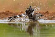 Mockingbird bathing in Texas