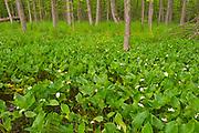 Water Arum or Bog Arum, Swamp Lily, Wild Calla (Calla palustris)<br />Clearwater Bay<br />Ontario<br />Canada