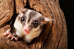 © under license to London News Pictures. 23/09/12. A Sugar Glider. Animals appear to pose for their portrait as part of a photo session in Macro photography at Park Farm in the heart of Knowsley Safari Park in Merseyside. Photo credit should read IAN SCHOFIELD/LNP