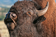 Bull bison in the fall rut in Grand Teton National Park. Artistic effects applied to a photograph by Mike R. Jackson of an adult buffalo.
