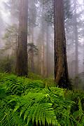 Fog drifts through a redwood forest in Nel Norte, California.