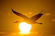 Sandhill crane flying against sunrise