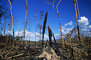 SLASH AND BURN DEFORESTATION, Amazon, near Boavista, northern Brazil, South America. Burnt primary rainforest, nothing left but burnt and burning tree stumps of what used to be a great forest. Ecological biosphere and fragile ecosystem where flora and fauna, and native lifestyles are threatened by progress and development. The rainforest is home to many plants and animals who are endangered or facing extinction. This region is home to indigenous primitive and tribal peoples including the Yanomami and Macuxi.