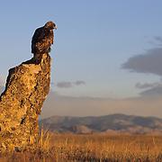 Golden Eagle (Aquila chrysaetos) drying its wings, Colorado. Captive Animal