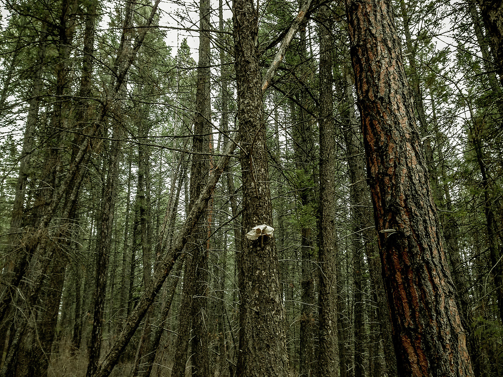 Deer skull stuck on branch in trees