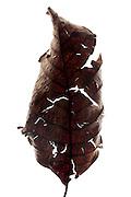 autumn season disintegrating curled brown leaf