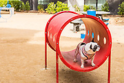 Black and White French Bull Dog Standing on Playground Equipment
