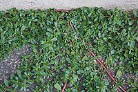 Purslane (Portulacea oleracea)  an edible plant which is often used for salad. Pont-du-Chateau, Auvergne, France.