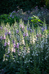 Digitalis purpurea 'Camelot Series' - Foxglove.