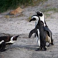 Africa, South Africa, Simons Town, Boulders Beach. African Penguin trio at Boulders Beach near Simons Town on False Bay.