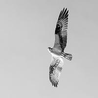 https://Duncan.co/osprey-black-and-white