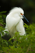 Breeding Snowy Egret with blurred foreground and Background