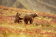 Grizzly bear sow pauses on tundra slope with cub touching her as if seeking protection, Denali National Park, Alaska, ©  David A. Ponton