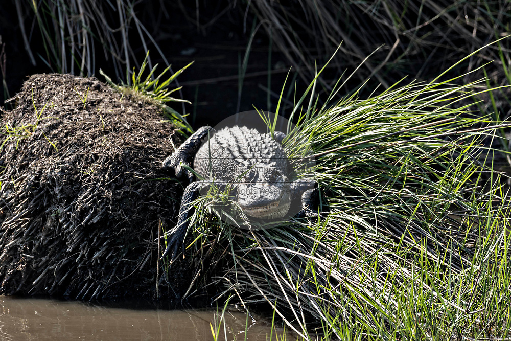 A juvenile American alligator hides from larger predators in the marsh grass at the Donnelley Wildlife Management Area March 11, 2017 in Green Pond, South Carolina. The preserve is part of the larger ACE Basin nature refugee, one of the largest undeveloped estuaries along the Atlantic Coast of the United States.