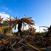Intensive cultivation of sugar cane. Huehuetán, Mexico.
