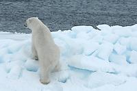 Polar bear / Ursus maritimus<br /> Nordvest øyana<br /> Svalbard<br /> Norway