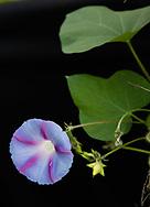 Wie heißt du? <br /> Bunte Gartenwinde (Ipomoea purpurea).<br /> <br /> Wo wohnst du? <br /> Ich gehöre zu den Prunkwinden, und die sind ursprünglich vor allem in den Tropen verbreitet. Nur zwei Arten stammen aus dem Mittelmeergebiet. Hier wohne ich im Hinz&Kunzt-Garten<br /> in Eidelstedt.<br /> <br /> Was magst du? Ich bin anspruchslos. In Höfen, Gärten, auf Brachland, an Wegrändern, sogar auf Müllplätzen fühle ich mich wohl. Am liebsten ranke ich irgendwo hoch.<br /> <br /> Wann blühst du? Juli bis August.<br /> <br /> Jaarsmoor 34 . Eideltsedt. Hamburg, Deutschland. 28.8.2017
