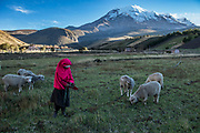 Indian woman & sheep<br /> Maria Rosa Cayambe<br /> Pulingue San Pablo community<br /> Chimborazo Province<br /> Andes<br /> ECUADOR, South America