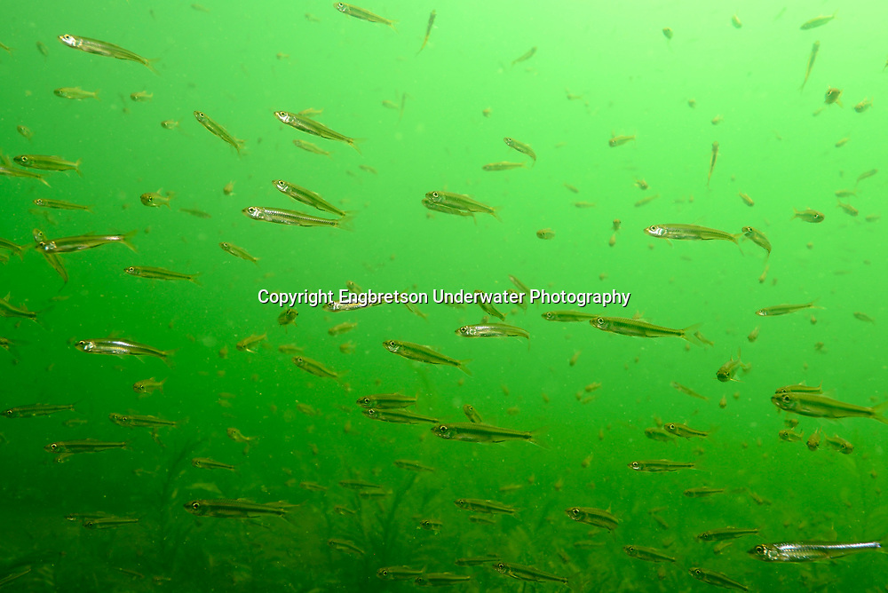 Mimic Shiners School<br /> <br /> Engbretson Underwater Photography
