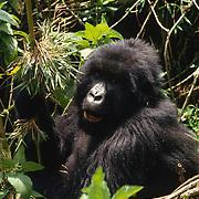 Female mountain gorilla eating bamboo in Volcanoes National Park Rwanda, Africa.