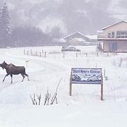 Moose, (Alces alces) Cow in city limits of Homer. Winter. Alaska.