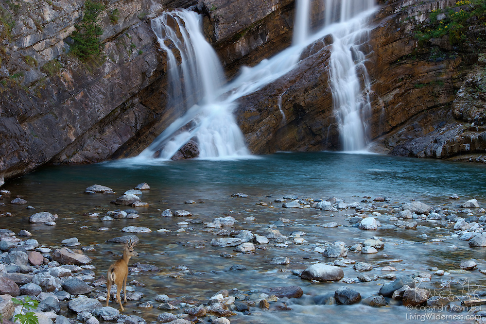 A white-tailed deer (Odocoileus virginianus) stands at the base of Cameron Falls in Waterton Lakes National Park, Alberta, Canada.