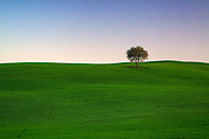 A lonely oak tree in the crop fields on the hills nearby Montalcino in Tuscany, Italy.