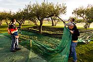 17-10-2015 -  Foto: Olijven plukken. Genomen tijdens een persreis met de Rocco Forte Invitational op Verdura Golf & Spa Resort in Sciacca (Agrigento), Italië.