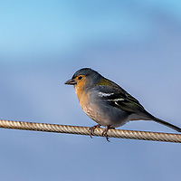 A Madeiran chaffinch sitting on a rope on top of Pico Ruivo, and waiting to be feeded by people resting at the viewpoint.