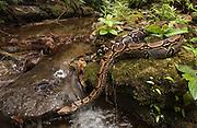 Boa Constrictor<br /> Boa Constrictor<br /> Amazon.  ECUADOR, South America<br /> Range: Mexico, Central and South America