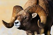 Bighorn Sheep near Gardiner, Montana.