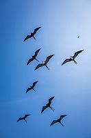 Great Frigate Birds